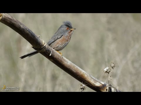 Curruca rabilarga. Dartford Warbler. (Sylvia undata). 20170111. Madrid. Spain