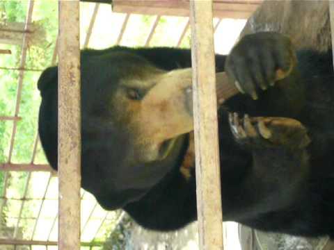 orso che mangia gelato
