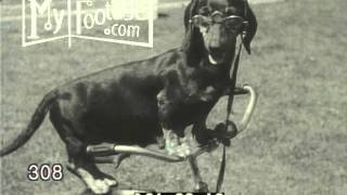 1936 NEWS/HUMOR: 11 CUTE DACHSHUND PUPPIES FROLIC, HANG OUT IN SOCKS