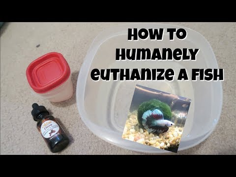 How To Humanely Euthanize A Betta Fish At Home