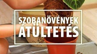 Szobanövény átültetés - hogyan? - kertészeti tanácsok