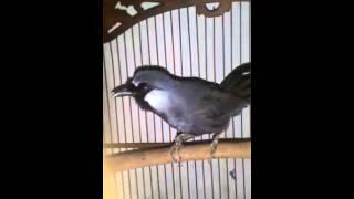 burung poksay Garrulax leucolophus 4