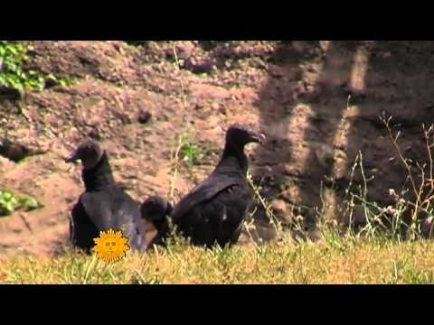 CBS News Sunday Morning - Vultures in nature