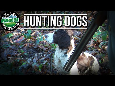 Hunting Dogs - Working The Woodland   TA Outdoors