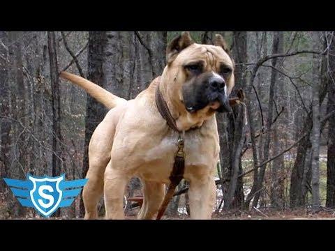 Najveći Psi Čuvari Na Svetu