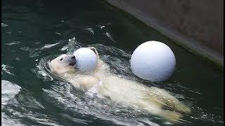КАЙ, РОСТИК, ГЕРДА - полярные медведи Новосибирского зоопарка