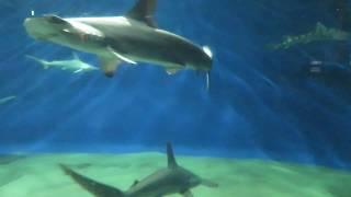kyurulog サメが泳ぐ! 種類がたくさんのサメたち  aquaworld#10, shark