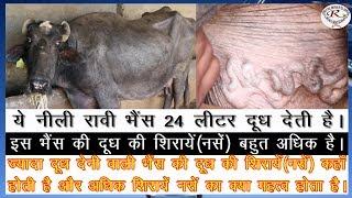 24 लीटर दूध वाली नीली रावी भैंस के बारे में जाने, Know about nili buffalo with 24 liters of milk