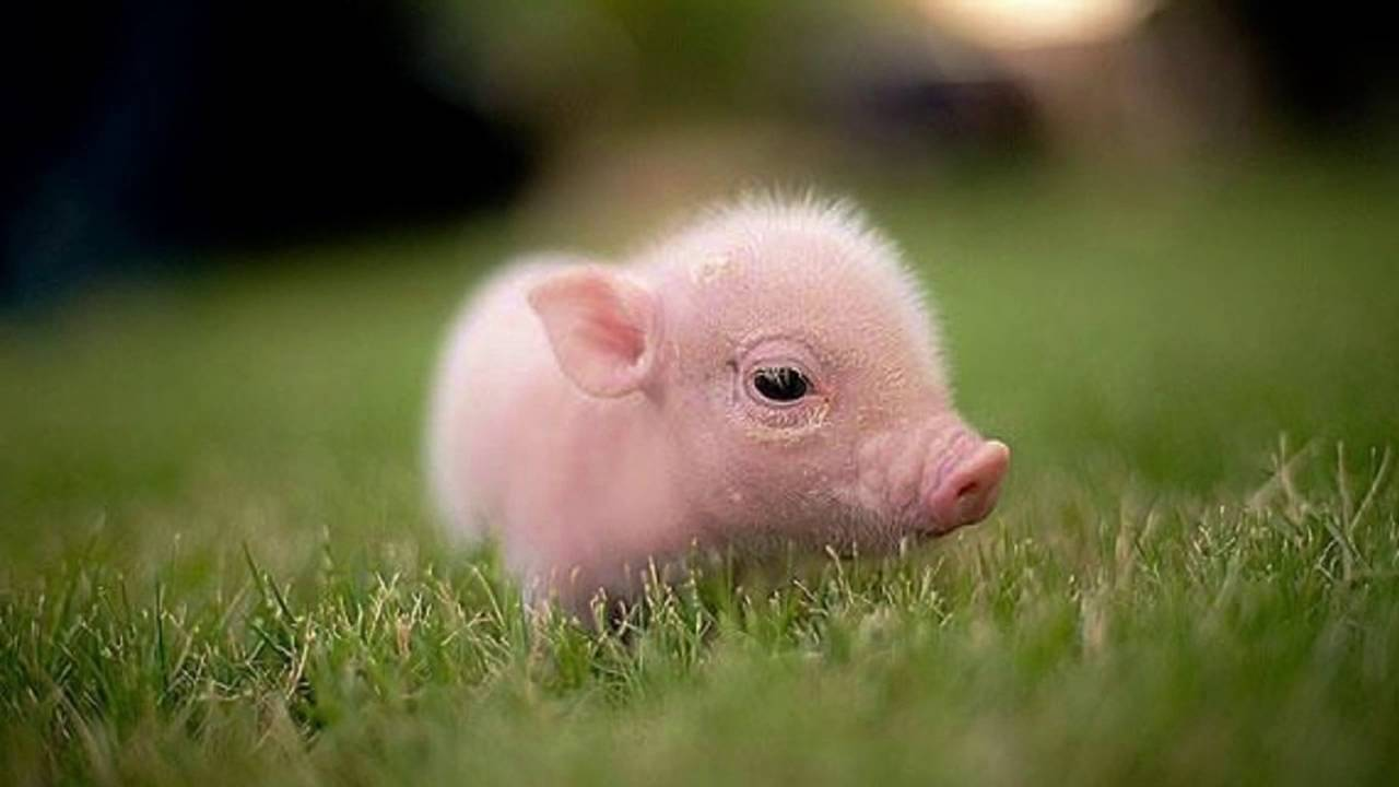 pigs cute really