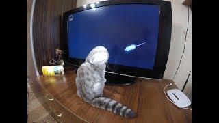 Игра для Котов и Кошек 😻 Кошка Хлоя смотрит телевизор и ловит мышей 🐱Scottish Fold Cat