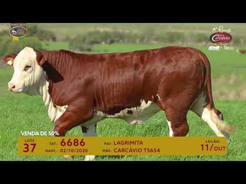 LOTE 37 - TAT 6686
