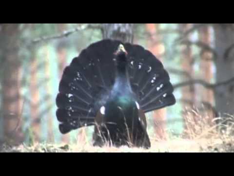 Фильм третий - «Профессиональная охота в западной Сибири с гибридами волка и лайки» - Трейлер