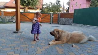 Кавказская овчарка.  Ака Мела,  10 месяцев
