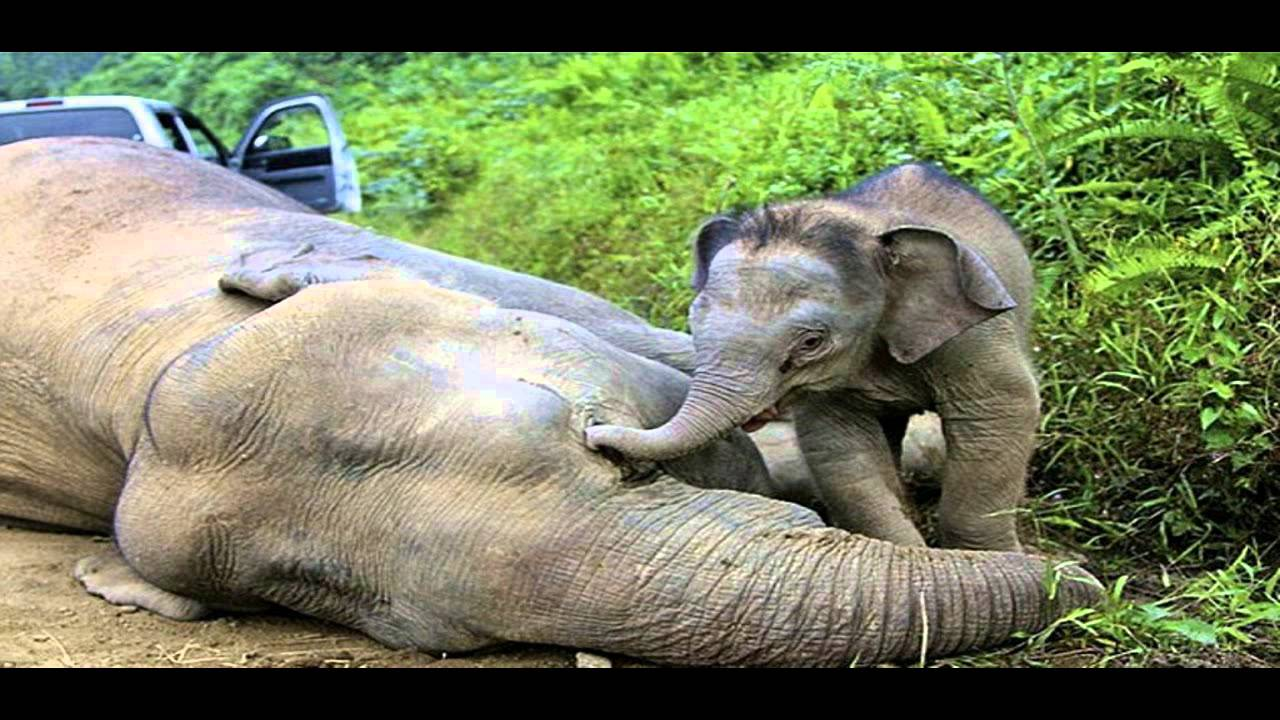 10 'baby faced' Pygmy elephants poisoned in Malaysia - YouTube
