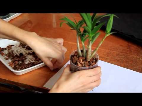 Как правильно ухаживать за орхидеей.  Дендробиум - посадка в кору