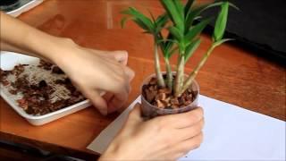 Как правильно ухаживать за орхидеей.  Дендробиум - посадка в кору(Вот такая деленка Дендробиума досталась мне., 2015-03-30T07:15:23.000Z)