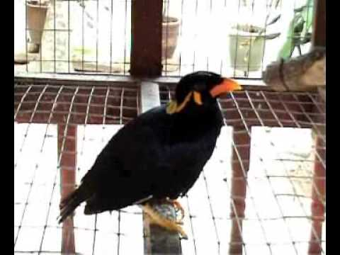 Talking Bird speak English and Malay