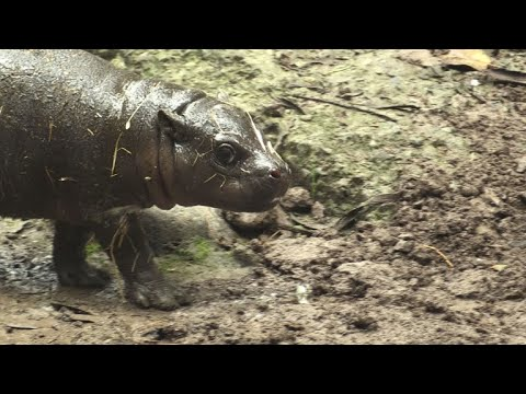 Baby pygmy hippo makes debut at Chile zoo