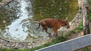 Tygrys - ZOO Myślęcinek