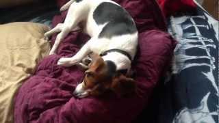 Beagle Uses Kitten As Pillow.