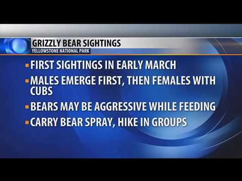First grizzly bears spotted in Yellowstone National Park