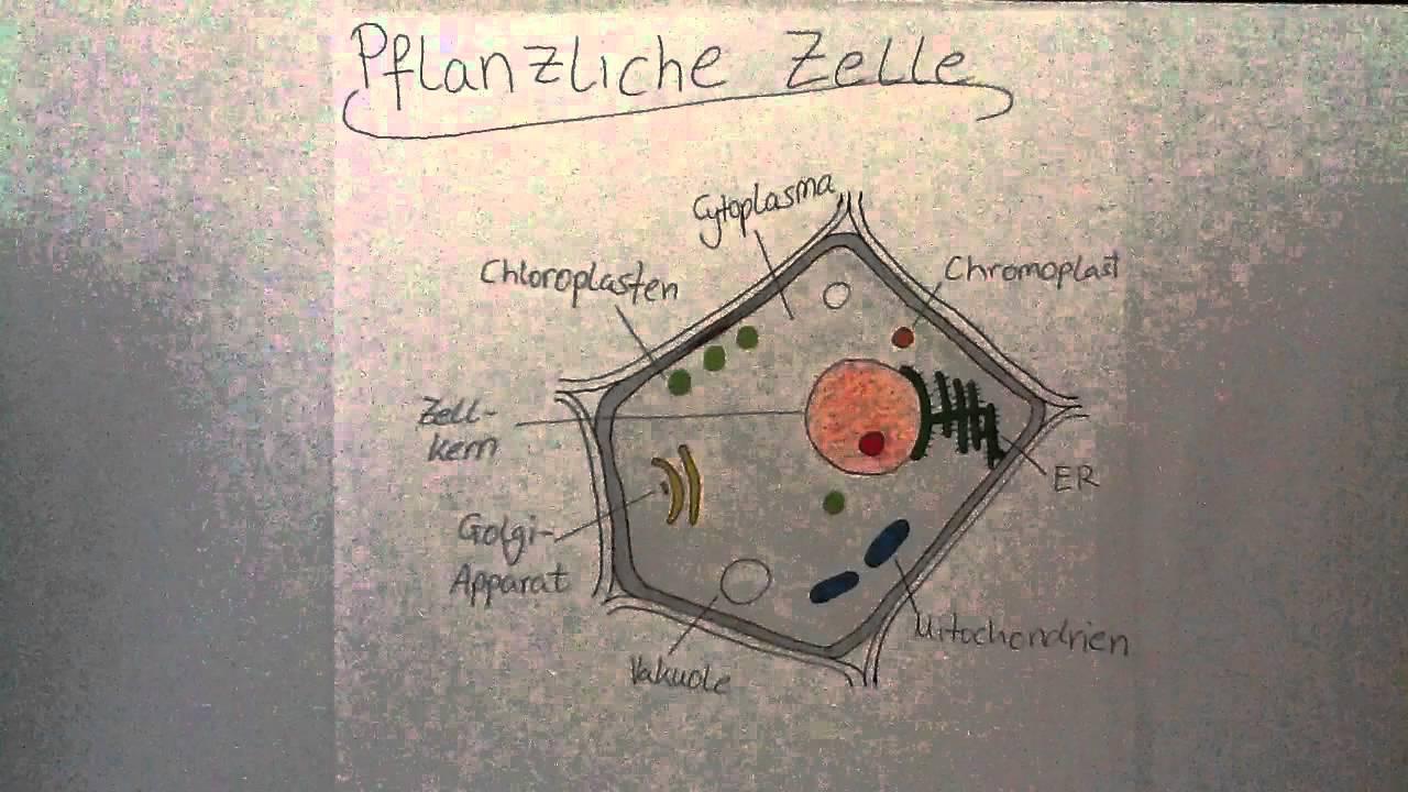 Aufbau einer pflanzlichen Zelle - Biologie Aufgaben - YouTube