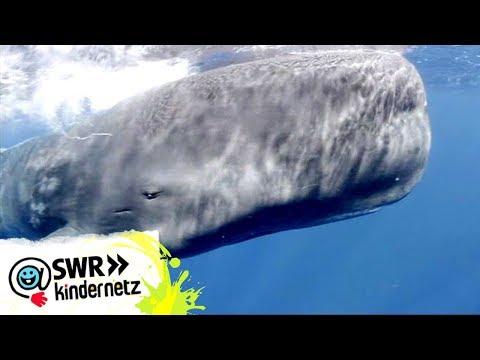 OLI auf Expedition: Bei den Walen | OLI's Wilde Welt | Kindernetz