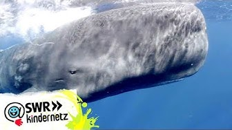 OLI auf Expedition: Bei den Walen | OLI's Wilde Welt | SWR Kindernetz