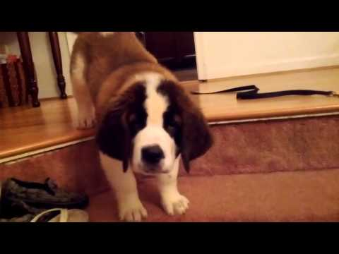 Watson St. Bernard puppy first attempt at the stairs