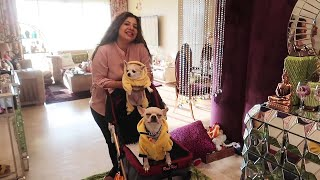 When Candy Met Her Boyfriend Habibi | Adorable Chihuahua Couple | Ss vlogs :-)