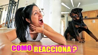 Fingiendo mi MUERTE delante de mi PERRO! Como Reacciona un Rottweiler | SandraCiresArt