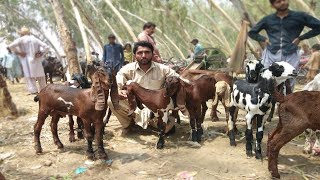 Top Quality Walay Beautiful Desi Bachay - Baby Goats For Sale Sahiwal Bakra Mand