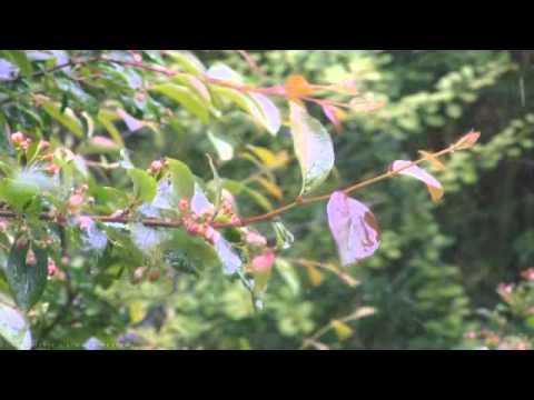 Swedish Forest Rain - Relaxing Nature Music