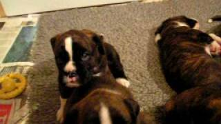 Hembadoon Boxers - Litter of Boxer Puppies 2009 3.mov