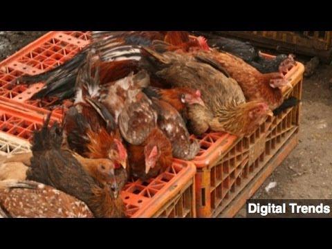 New Bird Flu Strain Infects First Human