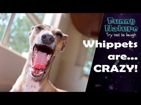 Whippet compilation - Whippet is the new Shibe - Funny Nature