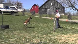 Malinois Puppy Training Lesson Fifteen 720p