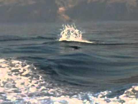 Delfin saltarin 1