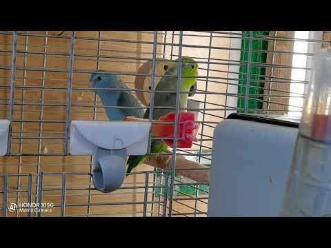 Forpus coelestis (Воробьиные попугаи Лессона)