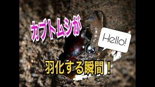 こんにちは、otajisanです(๑•̀ㅂ•́)و✧ 今回は国産カブトムシの羽化の瞬...