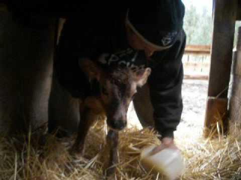 Feeding Newborn Calf