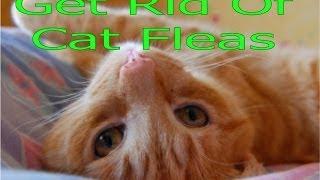 Get Rid Of Cat Fleas In House Cat Flea Extermination