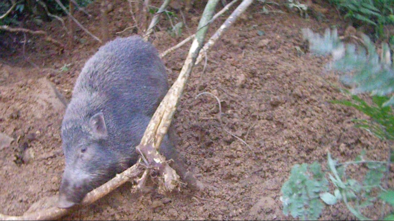 山豬很危險 - YouTube