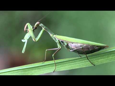Europ�ische Gottesanbeterin - Mantis religiosa