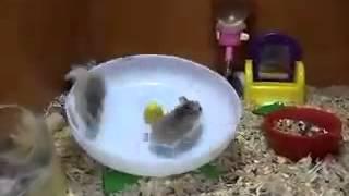 2 hamsters y una rueda, imposible no reírse!