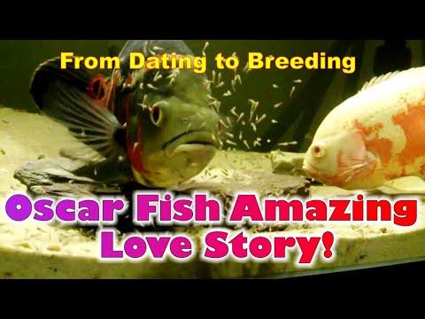Amazing Oscar Breeding!