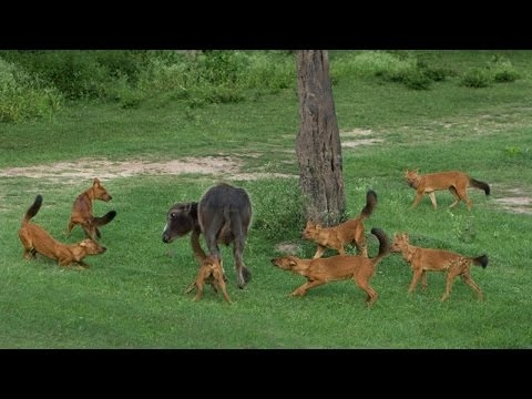Wild Dog Packs of the Indian Forest - Nature Documentary