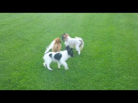 Pomeranian puppy VS Papillon