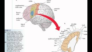The Brain - The Frontal Lobe