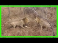 Craziest Animal Attacks ❖ Most amazing Wild Animal Fights in India #249